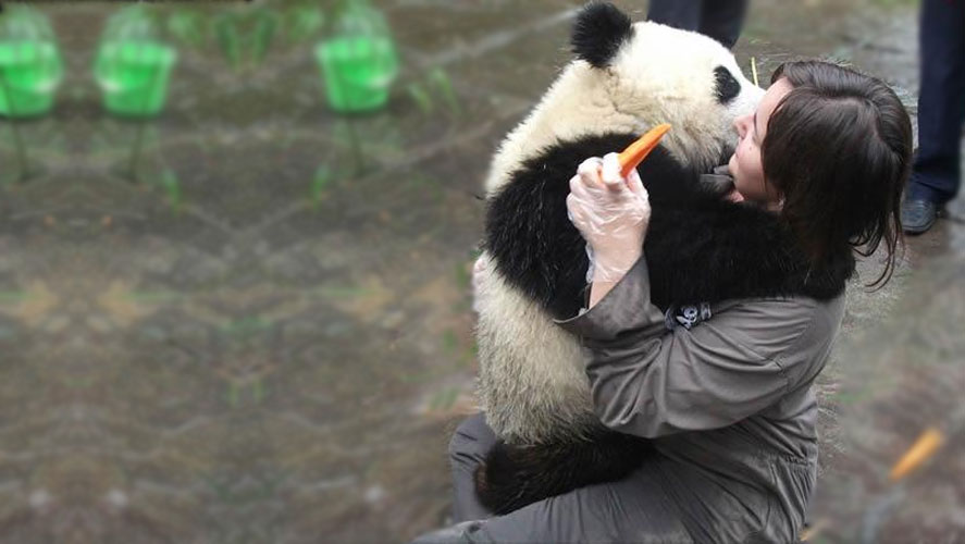 Volunteer in China Panda conservation with Frontier Gap