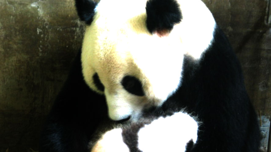 Mother Panda and Baby Panda in Global Crossroad Panda Conservation Centre