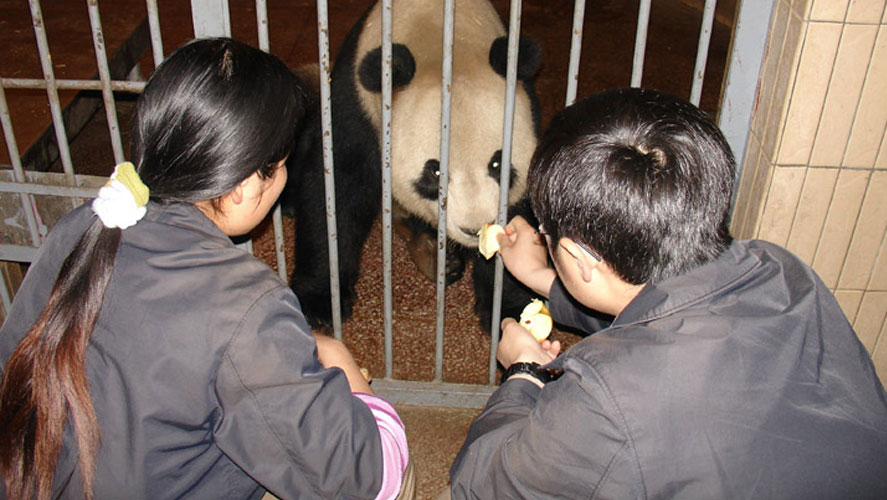 China Panda Conservation Volunteers from IFRE feeding Panda