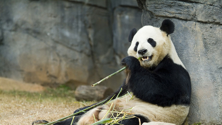 RCDP China Panda Conservation Volunteering Project