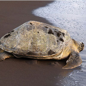 sea turtle conservation volunteer abroad
