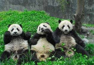 Panda Conservation in China - Over 20,000 Happy Volunteers since 2003