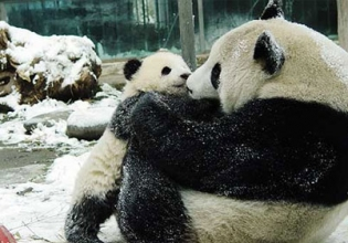 Panda Conservation Internship in China - Lowest Fees & Trusted since 2003