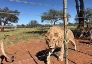 Lion Rescue and Rehabilitation South Africa