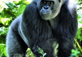 5 Days Uganda Gorillas & Chimpanzee Habituation Safari