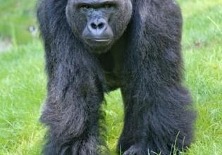 6 Days Chimpanzee, Queen Elizabeth Game safari and Gorilla Trekking Uganda