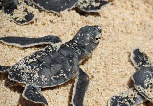 Baby Turtle Beach Conservation Costa Rica