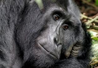 Uganda Gorilla Safari 3 days 2 nights