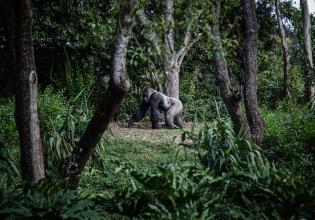 Gorilla,chimpanzee and wildlife Uganda 8 Days Safari